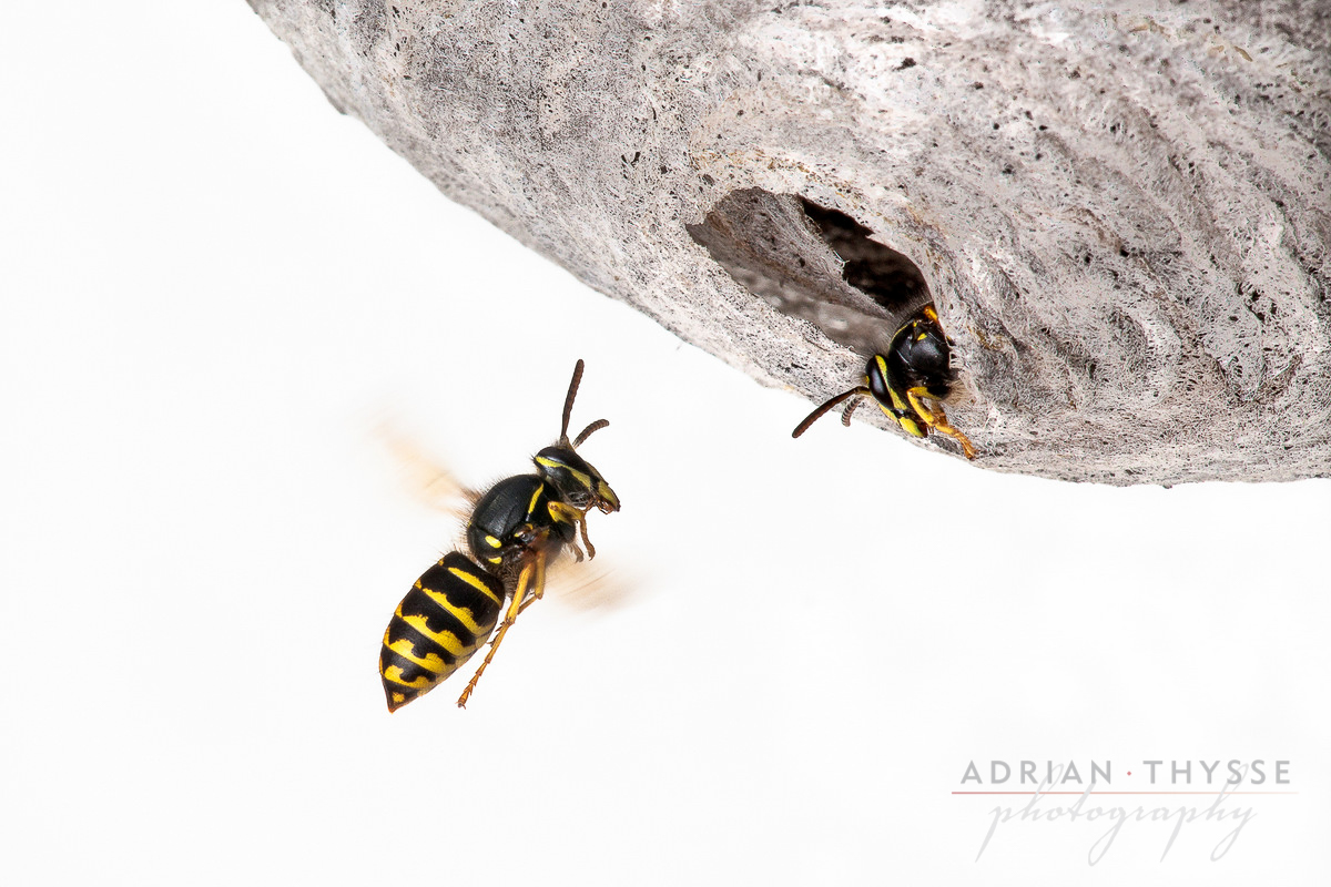 Common Aerial Yellowjacket (Dolichovespula arenaria)  by Adrian Thysee ©