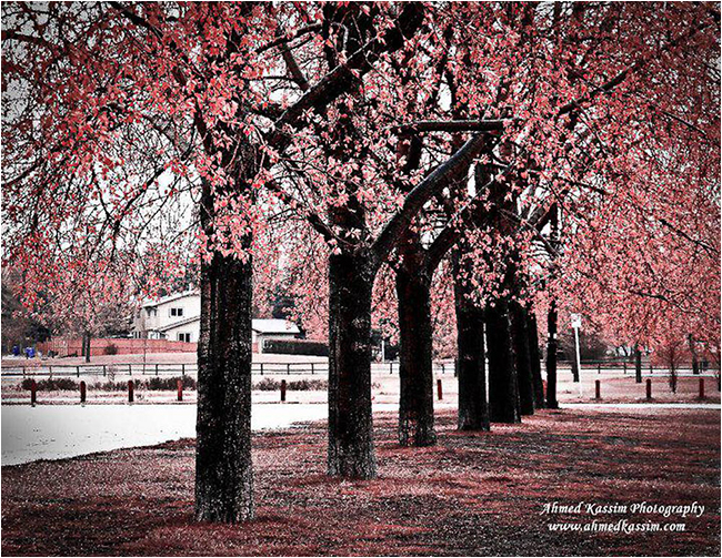 Trees in color infrared by Ahmed Kassim ©