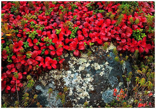 Bearberry and map lichens on rock by Robert Berdan ©
