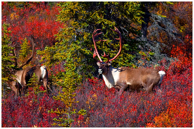 Caribou Bull with blood covered antlers by Robert Berdan ©