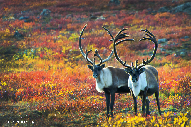 Pair of Caribou bulls near the  Peteron's Point Lake Lodge by Robert Berdan