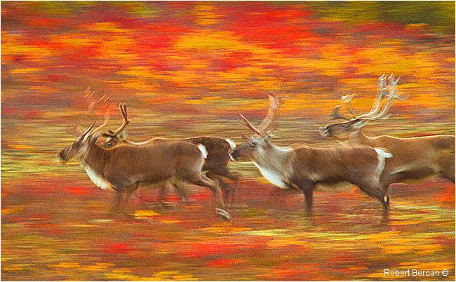 Slow exposure pan of Caribou running by Robert Berdan ©