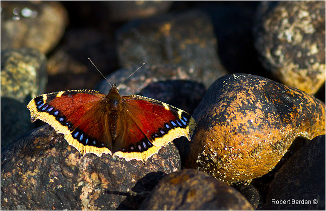Morning Cloak butterfly by Robert Berdan ©