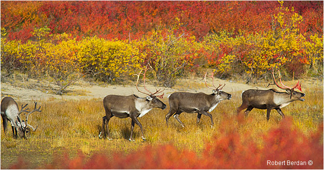 Group of Caribou coming to drink water in Esker Bay by Robert Berdan ©