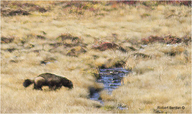 Wolverine on the tundra by Robert Berdan ©