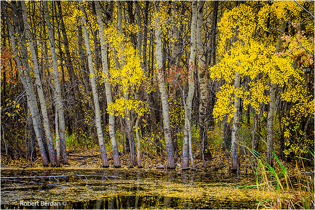 Yellow aspens by poind in autumn in Bearspaw region of Calgary, by Robert Berdan ©