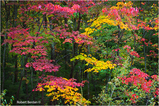 Colourful maple leaves from Ontario by Robert Berdan ©