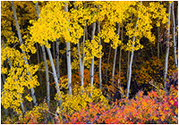 Aspens in Autumn Kananaskis by Robert Berdan ©