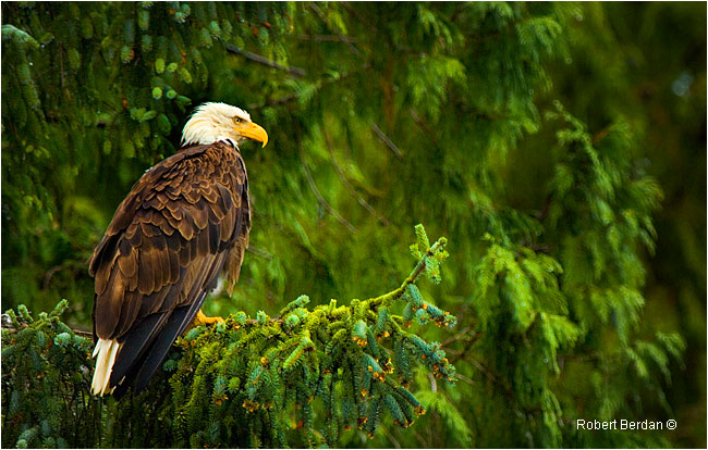 Eagle in fir tree along the coast by Robert Berdan ©