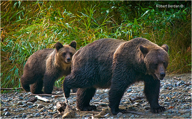 Grizzly Sow and Cub at the Atnarko river by Robert Berdan ©