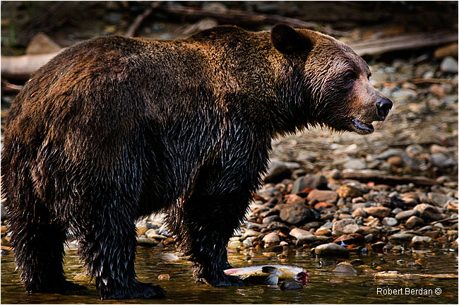Grizzly bear feeds on salmon by Robert Berdan ©