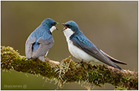 Tree Swallows by Brad James ©