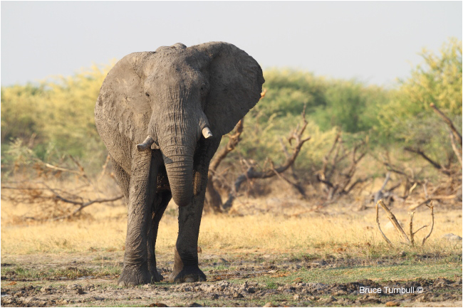 African Elephant by Bruce Turnbull ©