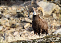 Big Horn Sheep by Bruce Turnbull ©