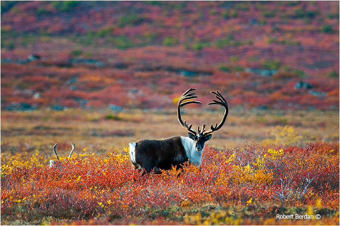 Barren lands Caribou centered in the picture by Robert Berdan