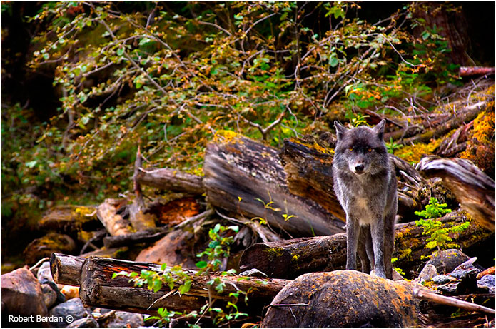 Wolf in Blaeberry valley photograph by Robert Berdan