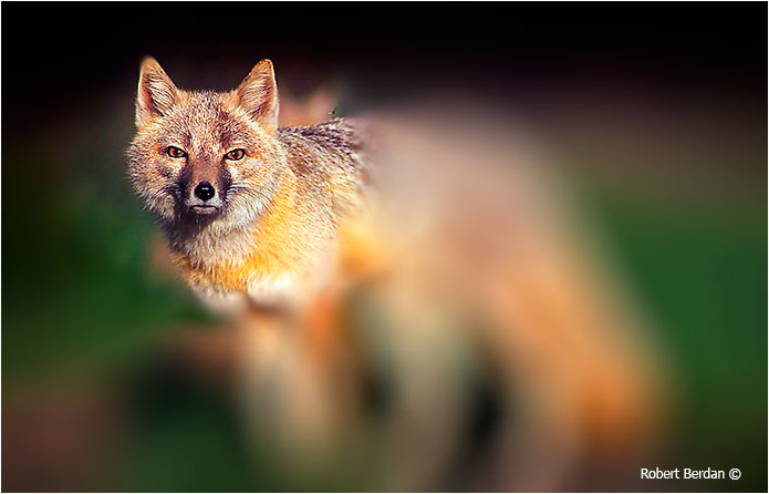Swift fox after applying Iris Blurr filter by Robert Berdan ©