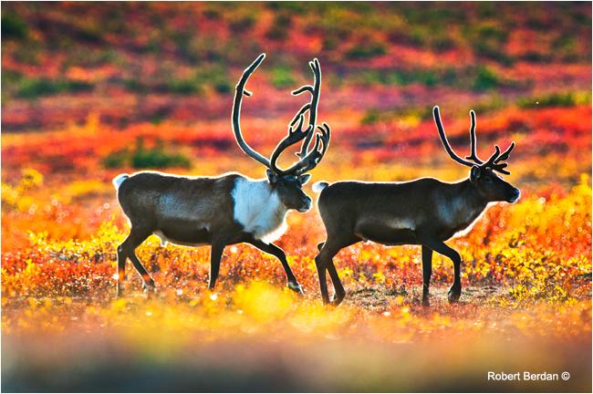 Barren land caribou, NWT by Robert Berdan ©