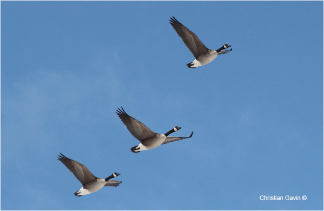 The Canada goose, this 6 foot wingspan, can be seen as far as New Zealand by Christian Gavin ©