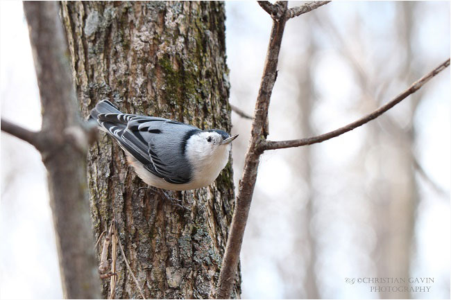 White breasted Nuthatch is very active during winter time by Christian Gavin ©