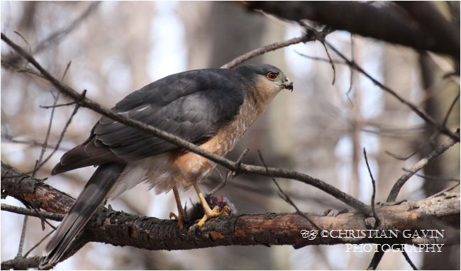 The Cooper's hawk is one of the most popular hawks of Canadian forests by Christian Gavin ©