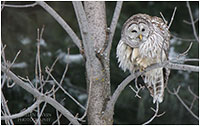 Barred owl by Christian Gaven ©