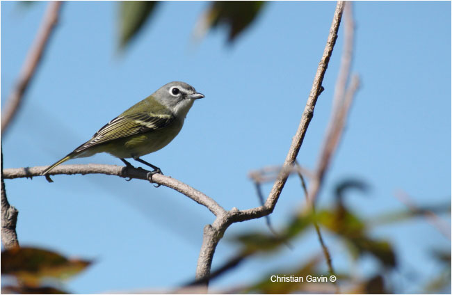 The Blue Headed Vireo is a very sough after subject among birders by Christian Gavin ©