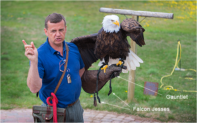Colin Weir demonstrating with a Bald eagle in Coaldale Birds of Prey Center by Robert Berdan
