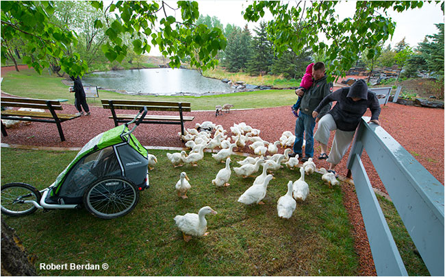 Visitors feeding white ducks at the Birds of Prey Centre in Coaldale, AB by Robert Berdan ©