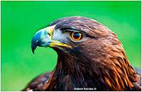 Injured Golden Eagle named Spirit from the Birds of Prey Center in Coaldale, AB by Robert Berdan