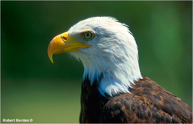 Roosevelt a rehabilited Bald eagle at Birds of Prey Center, Coaldale, AB by Robert Berdan ©