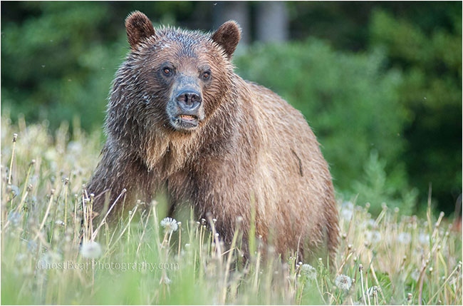 Grizzly bear by ghostbearphotography.com