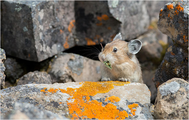 Pika by ghostbearphotography.com