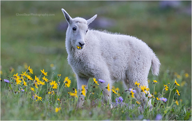 mountain goat kid by ghostbearphotography.com