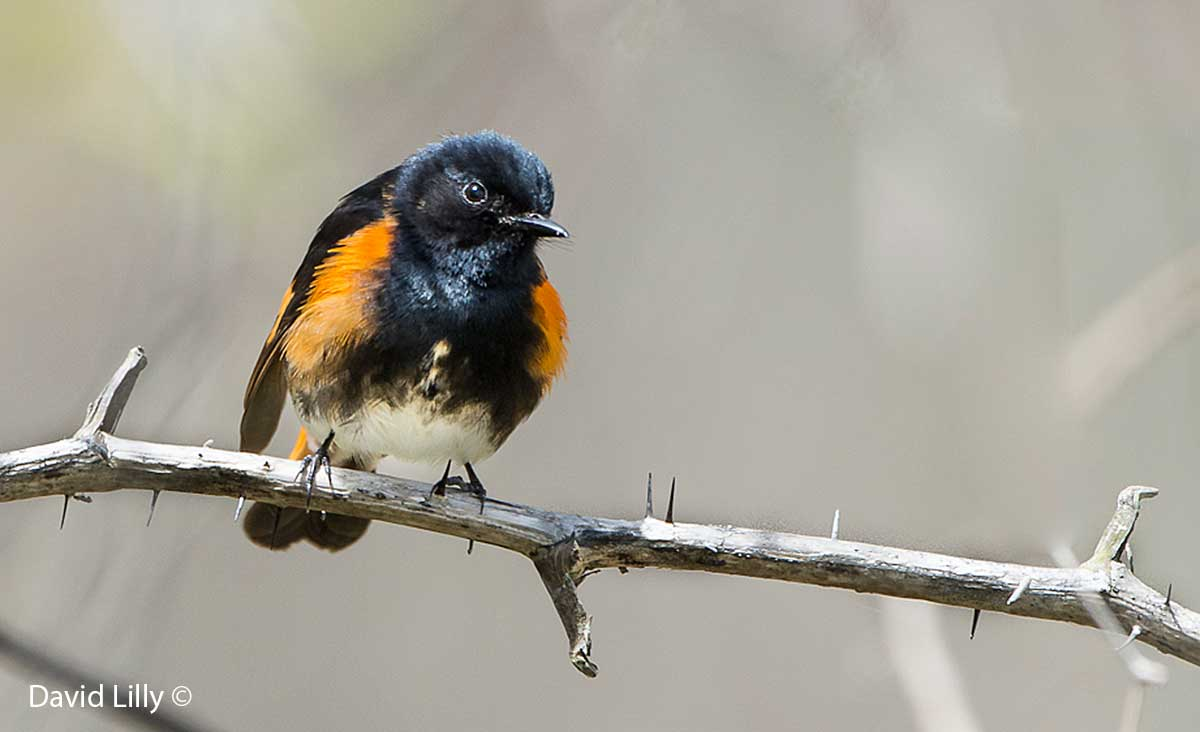 American Redstart by David Lilly ©