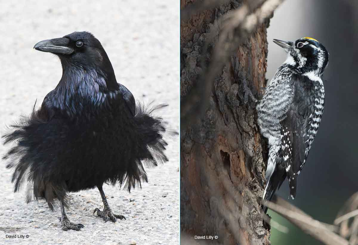 Raven and three toed woodpeciker by David Lilly ©