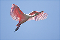 Spoonbill by David Lilly ©
