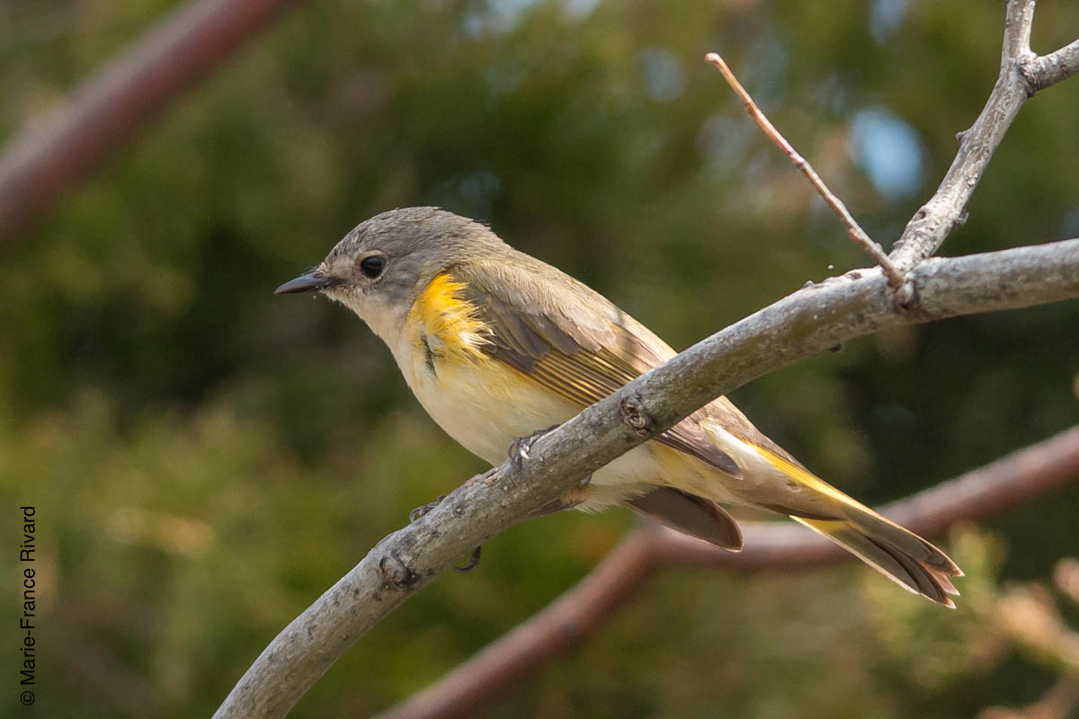 Female American redstart (paruline flamboyante) By Marie-France and Denis Rivard ©