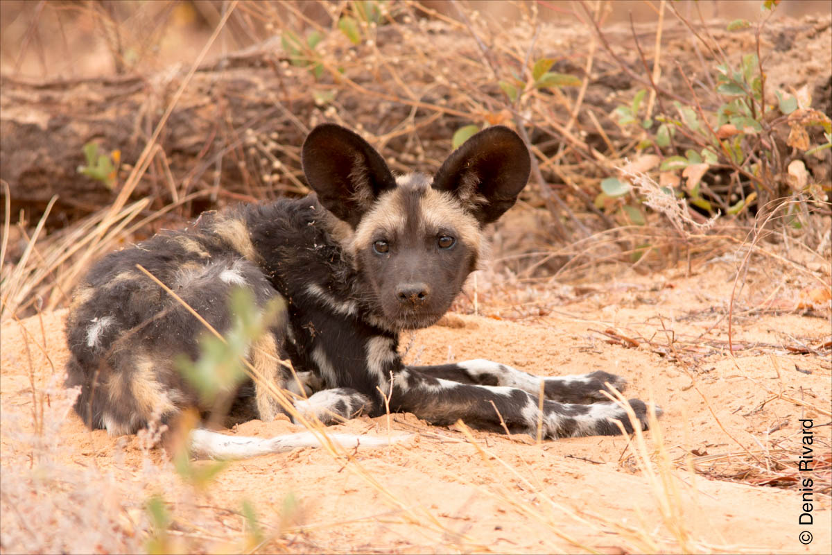 African wild dog (lycaon), also called African painted dog. by Marie-France and Denis Rivard ©