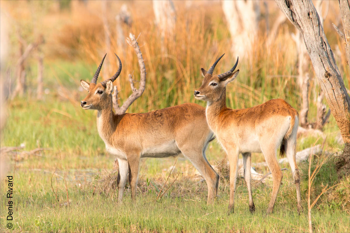 Southern lechwe (cobe de Lechwe) in Moremi Game Reserve by Marie-France and Denis Rivard ©