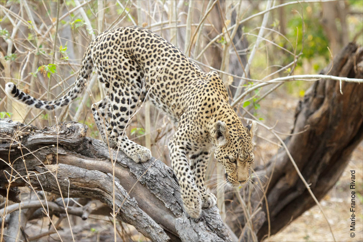 Leopard in Moreni Game reserve  by Marie-France and Denis Rivard ©