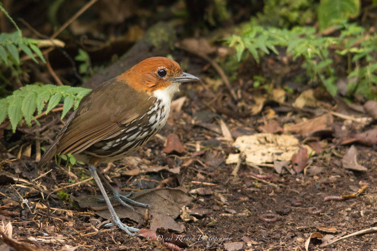 Chestnut-crowned antpitta by Marie-France and Denis Rivard ©