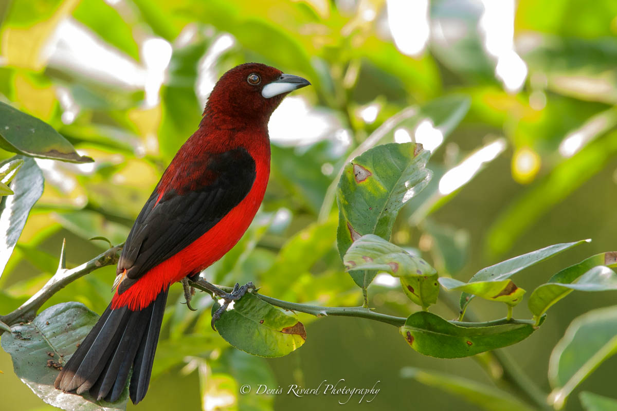 Crimson-backed Tanager by Marie-France and Denis Rivard ©