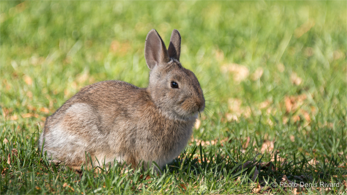 Mountain cottontail in Douglas Provincial Park by Denis Rivard ©