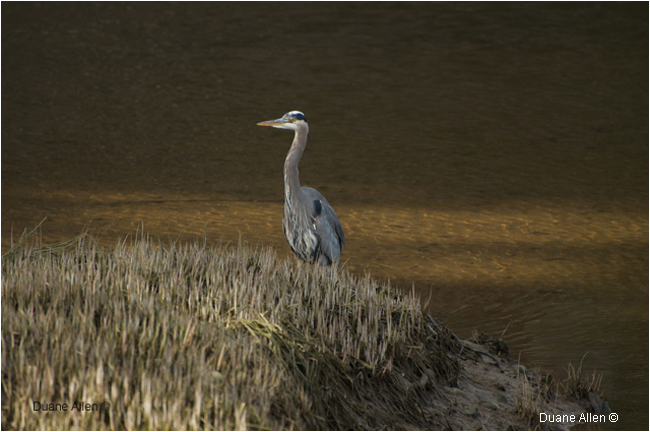 Great Blue Heron by Duane Allen ©