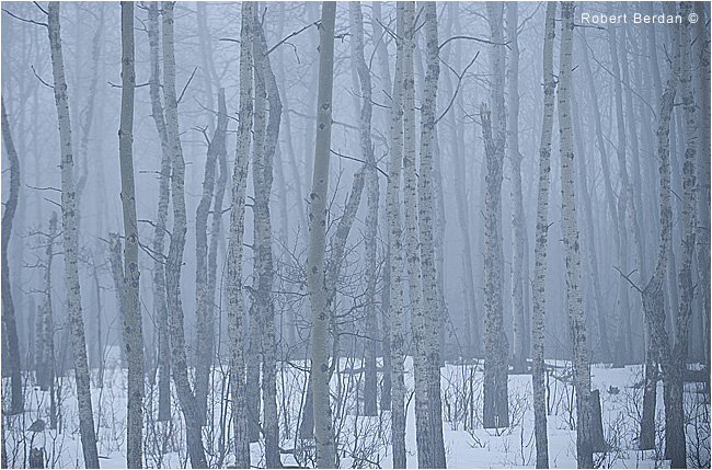 Aspen forest in fog by Robert Berdan