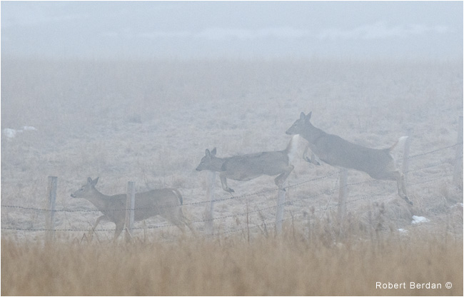 White-tail deer jumping barb wire fence in fog by Robert Berdan ©