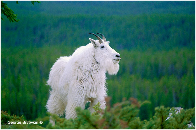 Mountain Goat by George Brybycin ©