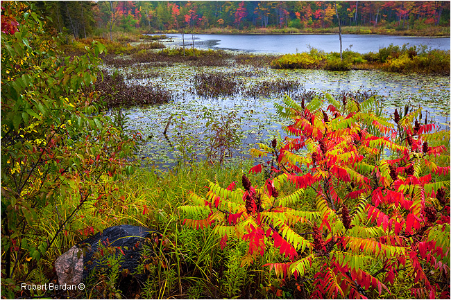 Red summac leaves around Marsh in Port Severn, Ontario by Robert Berdan ©