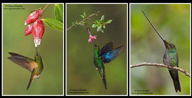 Buff-tailed Coronet, Great Saphirewing, Sword-billed Hummingbird by Glenn Bartley ©